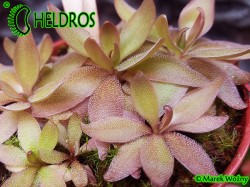 PINGUICULA ' RED STARFISH '