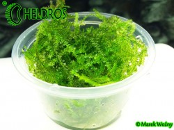 PEACOCK MOSS - Taxiphyllum sp. 80ml