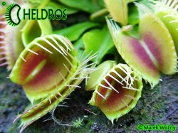 VFT TRICHTERFALLE - FUNNEL TRAP
