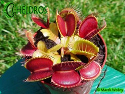 VFT DIONAEA MUSCIPULA - RED GREEN
