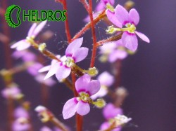 STYLIDIUM DEBILE - Triggerplant