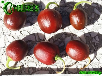 MINIROCOTO BROWN - 10 seeds