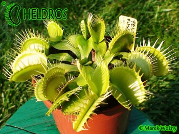 VFT YELLOW FUSED TEETH clone C.K.