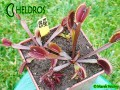 Dionaea RUBY RED