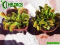Dionaea DC XL - Comparison with B52 in spring time May
