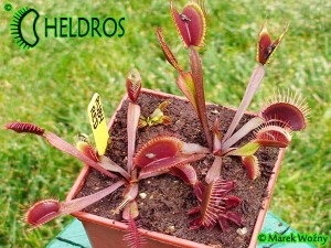 VFT Dionaea RUBY RED