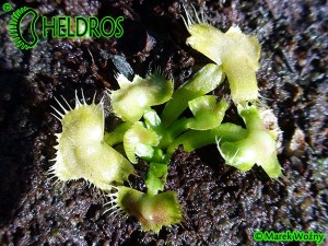 VFT Dionaea SPIDERMAN