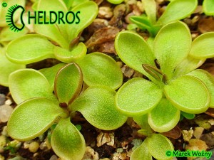 PINGUICULA CRASSIFOLIA