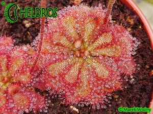 DROSERA Sp. PRETTY ROSETTE - 20 seeds