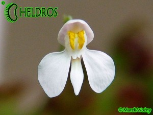 UTRICULARIA NEPROPHYLLA, White Flower - 20 seeds