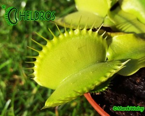 VFT Dionaea ALL GREEN - 20 seeds