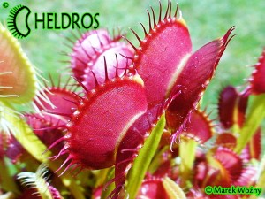 VFT Dionaea DINGLEY GIANT - 20 seeds
