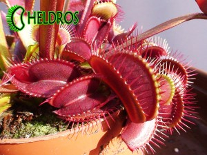 VFT Dionaea ROYAL RED - red