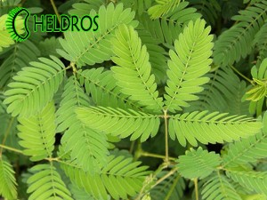 MIMOSA PUDICA Sensitive - 20 seeds