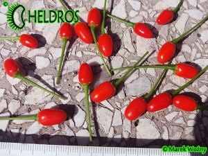 CHILTEPIN Chili Tepin - 10 seeds