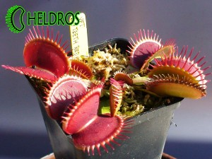 VFT BIG TEETH RED GIANT