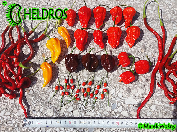 HELDROS-chili-peppers